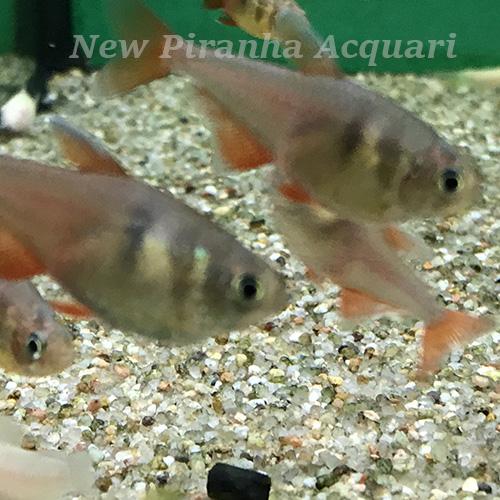 Pesce pulitore acqua dolce fredda pesci facili per l for Pesce pulitore acqua dolce fredda