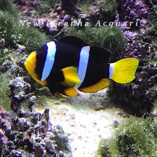 Amphiprion Clarkii Pesce Pagliaccio New Piranha