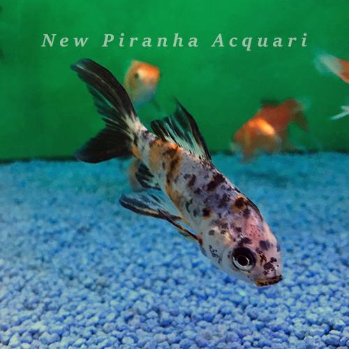 Pesci d acqua dolce fredda per acquario elegant ancistrus for Pesci acqua dolce fredda laghetto