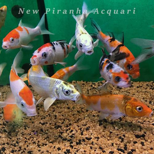 Tutto per laghetti e pesci d 39 acqua fredda for Pesce rosso butterfly