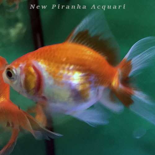Tutto per laghetti e pesci d 39 acqua fredda for Pesce oranda