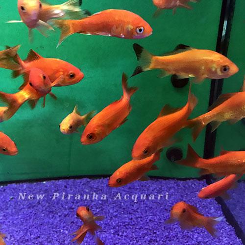 Pesci laghetto acqua fredda archivi new piranha acquari for Vaschetta pesci rossi offerte
