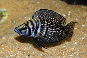 Lamprologus-calvus-zaire-black-fin