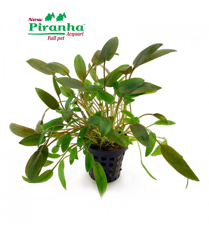 cryptocoryne-wendtii-brown-700-piranha