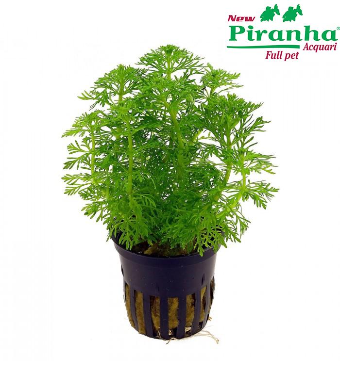 limnophila-sessiliflora-heterophylla