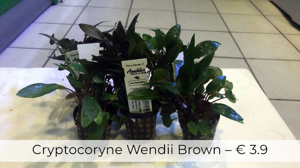 CRYPTOCORYNE-WENDII-BROWN-piranha