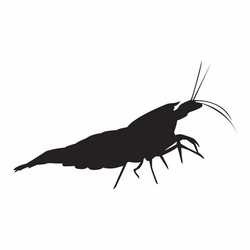 caridina silhouette