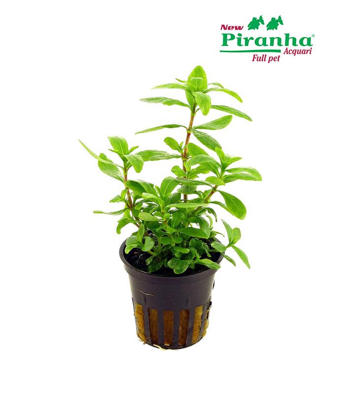 hygrophila-polysperma-green-piranha